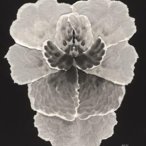 Flora VI (F)