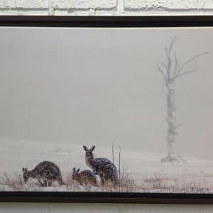 Kangroos in the Snow by Carol Hancock