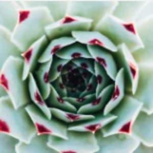 Pink-tipped Succulent by Kristin Bendigo