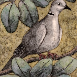 Eurasian Collared Dove by Carolyn Howse