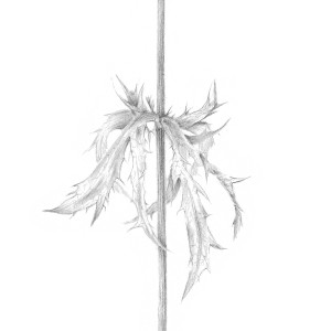 Decay xxi ~ The Eryngium by Louisa Crispin