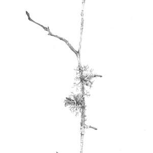 Lichen on Birch vii by Louisa Crispin