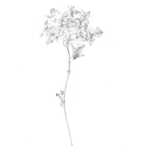 Decay xvi ~ the Hydrangea by Louisa Crispin