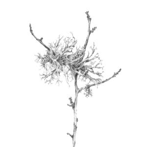 Lichen on Birch v by Louisa Crispin