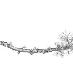 Lichen on Crack Willow by Louisa Crispin