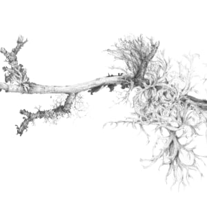 Lichen on Hawthorn i by Louisa Crispin