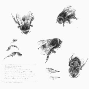Study of a  BumbleBee 001 by Louisa Crispin