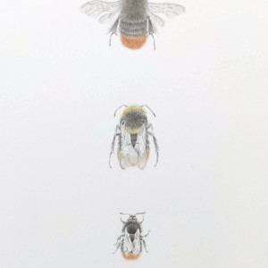 Red tailed BumbleBee 3.7 by Louisa Crispin