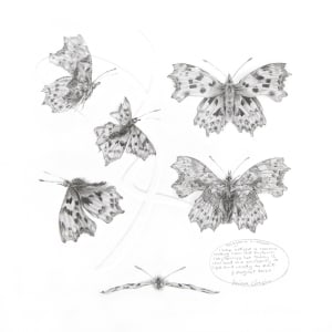Study of a  Butterfly 002 ~ Comma by Louisa Crispin