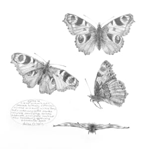 Study of a  Butterfly 003 ~ Peacock by Louisa Crispin