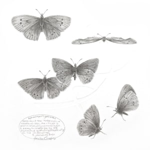 Study of a  Butterfly 005 ~ Ringlet by Louisa Crispin