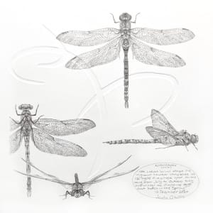 Study of a Dragonfly 002 ~ migrant hawker by Louisa Crispin