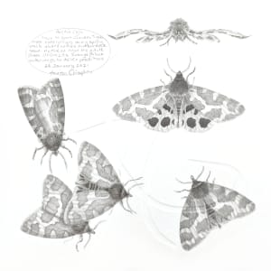 Study of a  Moth 001 ~ Garden Tiger by Louisa Crispin