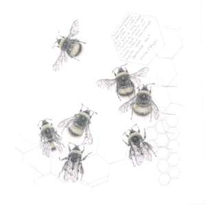 Study of a  BumbleBee 016 by Louisa Crispin