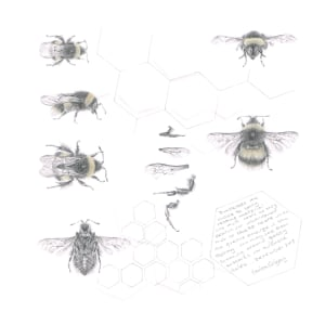 Study of a  BumbleBee 017 by Louisa Crispin