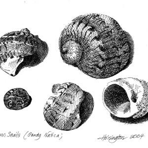 Moon Snails by Kit Hoisington