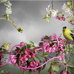 Goldfinch-Pink Cord