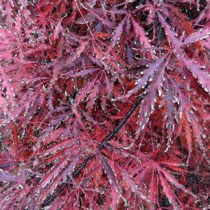 Cut Leaf Maple 6